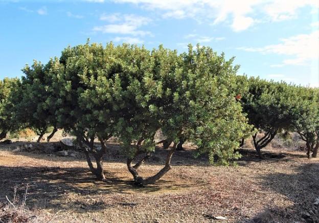 MAstiksipuu